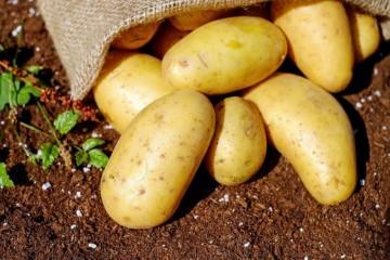 土豆去黑眼圈吗介绍土豆的作用和功效